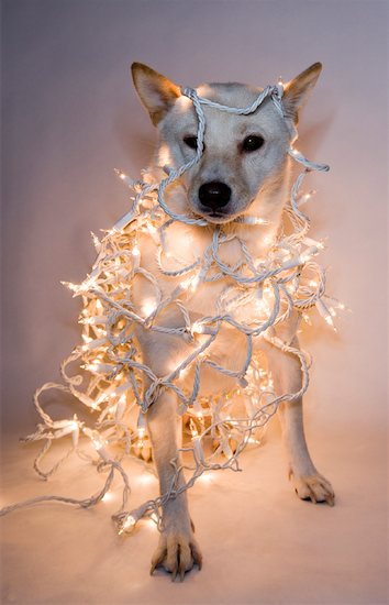 Dog Wrapped in Christmas Lights Stock Photo - Premium Royalty-Free, Artist: TSUYOI, Image code: 600-01765187