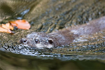 Eurasian Otter, Bavarian Forest National Park, Bavaria, Germany Stock Photo - Premium Royalty-Free, Code: 600-01954435
