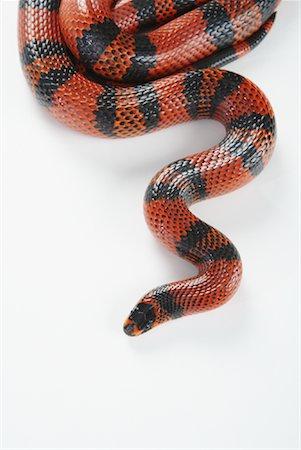 Snake Stock Photo - Premium Royalty-Free, Code: 600-02055813