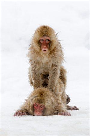 doing sex - Japanese Macaques, Jigokudani Onsen, Nagano, Japan Stock Photo - Premium Royalty-Free, Code: 600-02056302
