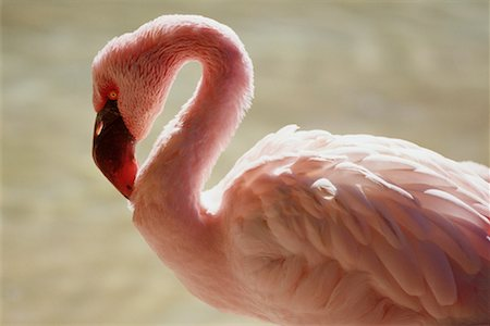 Flamingo, San Diego Zoo, California, USA Stock Photo - Premium Royalty-Free, Code: 600-02063757