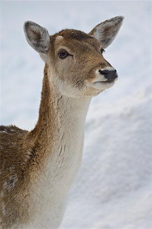 Red Deer, Omega Park, Montebello, Quebec, Canada Stock Photo - Premium Royalty-Free, Code: 600-02076401