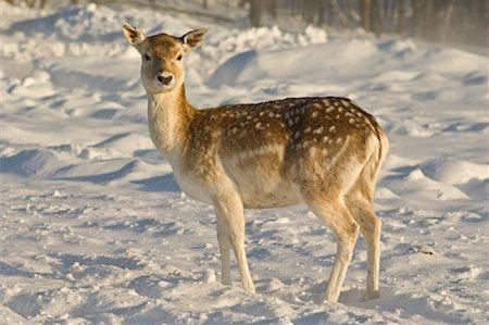 Fallow Deer, Omega Park, Montebello, Quebec, Canada Stock Photo - Premium Royalty-Free, Code: 600-02076402