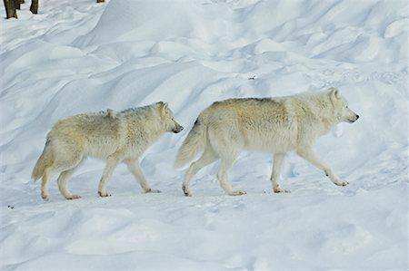 Arctic Wolves, Parc Omega, Montebello, Quebec, Canada Stock Photo - Premium Royalty-Free, Code: 600-02121157