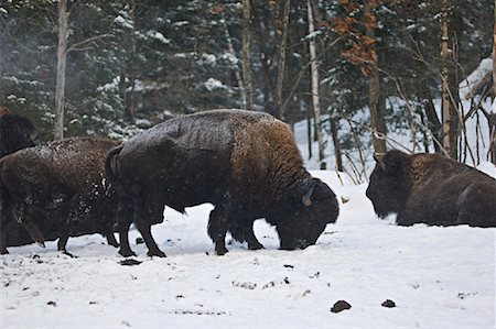Bison Foraging in Snow, Parc Omega, Montebello, Quebec, Canada Stock Photo - Premium Royalty-Free, Code: 600-02121158