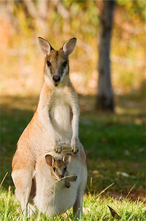 Wallaby with Joey, Nitmiluk National Park, Northern Territory, Australia Stock Photo - Premium Royalty-Free, Code: 600-02176571