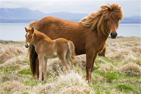 Icelandic Horse with Foal Stock Photo - Premium Royalty-Free, Code: 600-02348820