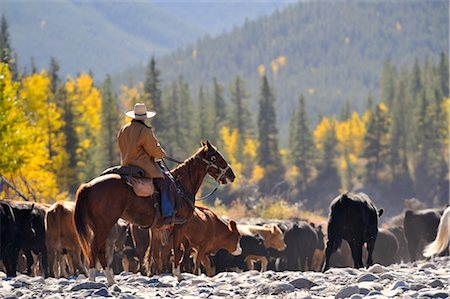 Cowboy rounding up cattle, Alberta, Canada Stock Photo - Premium Royalty-Free, Code: 600-02377491