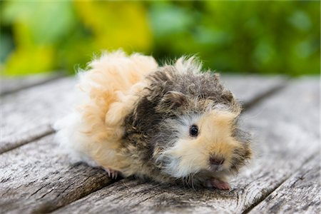 Lunkarya Guinea Pig Stock Photo - Premium Royalty-Free, Code: 600-02461440