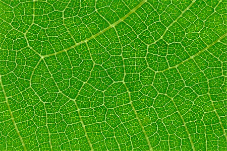 Fig Leaf Stock Photo - Premium Royalty-Free, Code: 600-02659658