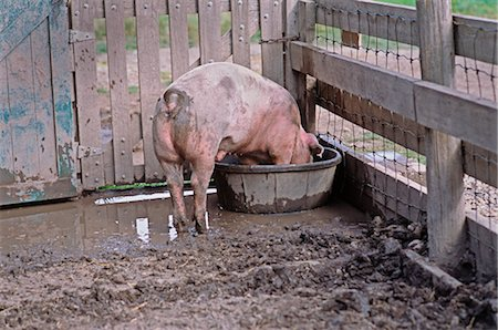 smelly - Pig in Pen Drinking, Heritage Park, Calgary, Alberta, Canada Stock Photo - Premium Royalty-Free, Code: 600-02659829