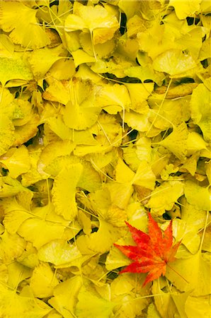 Red Japanese Maple Leaf on Bed of Yellow Gingko Leaves Stock Photo - Premium Royalty-Free, Code: 600-02694442