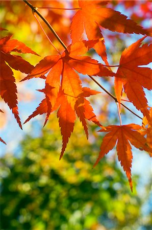 Japanese Maple Leaves turning Red During Autumn Stock Photo - Premium Royalty-Free, Code: 600-02694443
