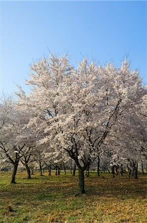 Cherry Blossoms, Tokyo, Japan Stock Photo - Premium Royalty-Free, Code: 600-02694450