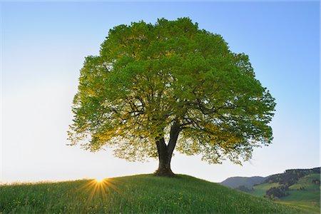 Single Lime Tree at Sunrise, Switzerland Stock Photo - Premium Royalty-Free, Code: 600-02724701