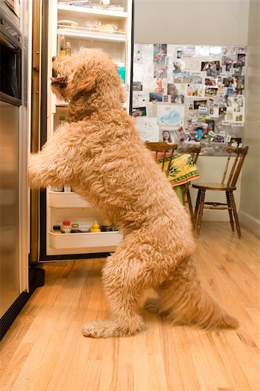 goldendoodle dogs pictures. Golden Doodle Dog Looking in