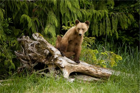 Young Grizzly Bear Sitting on a Stump, Glendale Estuary, Knight Inlet, British Columbia, Canada Stock Photo - Premium Royalty-Free, Code: 600-02833767