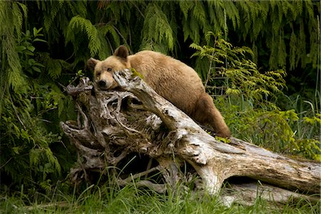 Young Grizzly Bear Sleeping on a Stump, Glendale Estuary, Knight Inlet, British Columbia, Canada Stock Photo - Premium Royalty-Free, Code: 600-02833768
