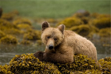 Young Grizzly Bear Sitting on Rockweed Covered Rocks, Glendale Estuary, Knight Inlet, British Columbia, Canada Stock Photo - Premium Royalty-Free, Code: 600-02833769