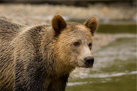 Male Grizzly Bear in Knight Inlet, British Columbia, Canada Stock Photo - Premium Royalty-Free, Code: 600-02833770