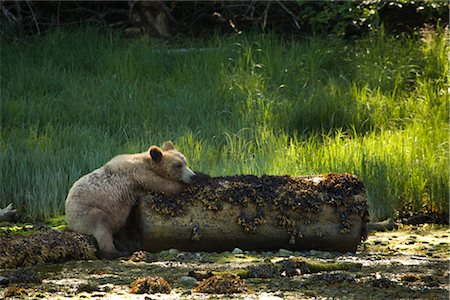 Grizzly Bear Resting on a Log, Glendale Estuary, Knight Inlet, British Columbia, Canada Stock Photo - Premium Royalty-Free, Code: 600-02833771