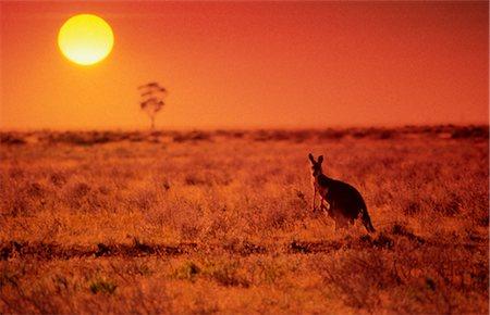 Kangaroo Standing on Treeless Plain at Sunset, Australia Stock Photo - Premium Royalty-Free, Code: 600-02886422