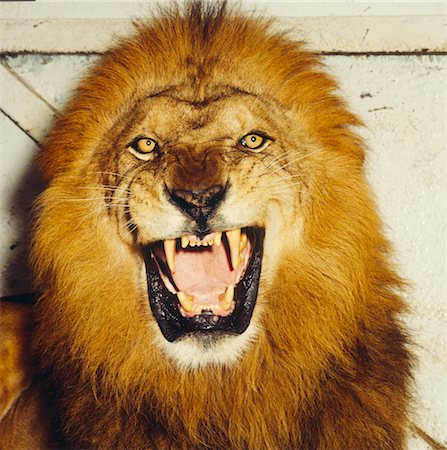 roar lion head picture - Lion Roaring Stock Photo - Premium Royalty-Free, Code: 600-02886526