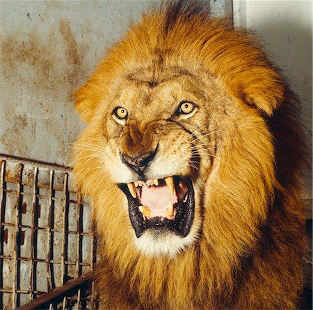 Male lion face roaring