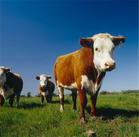 Beef Cattle Grazing, Australia Stock Photo - Premium Royalty-Free, Code: 600-02886615