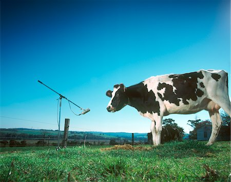 Cow Standing by Microphone, Gippsland, Victoria, Australia Stock Photo - Premium Royalty-Free, Code: 600-02886704