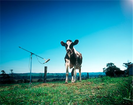 Cow Standing by Microphone, Gippsland, Victoria, Australia Stock Photo - Premium Royalty-Free, Code: 600-02886705