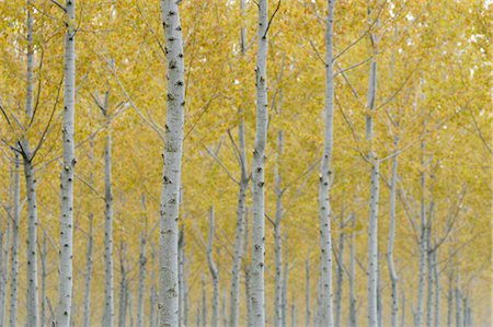 Poplar Trees, Lombardy, Italy Stock Photo - Premium Royalty-Free, Code: 600-02883195