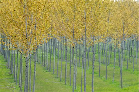 forestry - Poplar Trees, Lombardy, Italy Stock Photo - Premium Royalty-Free, Code: 600-02883193