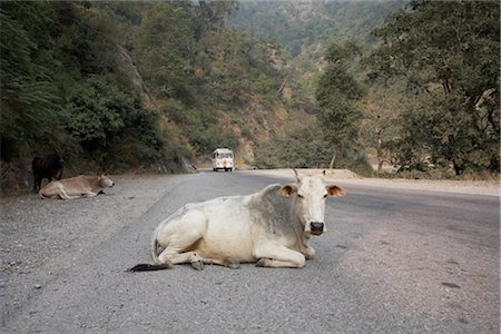 Cows Lying on the Road in Rishikesh, Uttarakhand, India Stock Photo - Premium Royalty-Free, Code: 600-02957929