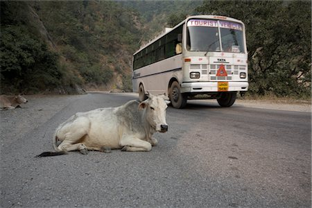 Cows Lying on the Road as a Tour Bus Drives By, Rishikesh, Uttarakhand, India Stock Photo - Premium Royalty-Free, Code: 600-02957930