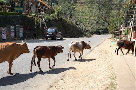 Cattle on Road, Kerala, India Stock Photo - Premium Royalty-Free, Code: 600-02957987