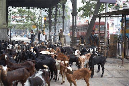 Herding Goats, Kolkata, West Bengal, India Stock Photo - Premium Royalty-Free, Code: 600-02958066
