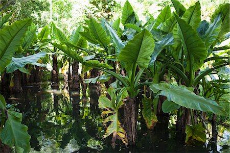 Botanical Gardens, Mauritius Stock Photo - Premium Royalty-Free, Code: 600-03004987