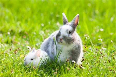 Dwarf Rabbits Stock Photo - Premium Royalty-Free, Code: 600-03016842