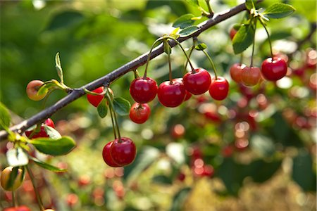 Close-Up of Cherries, Kazimierz, Poland Stock Photo - Premium Royalty-Free, Code: 600-03059002