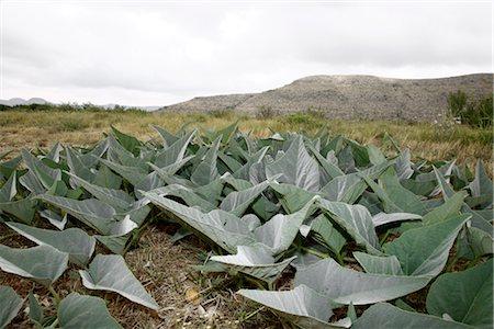Close-up of Desert Plants, Presidio, Presidio County, Texas, USA Stock Photo - Premium Royalty-Free, Code: 600-03059335