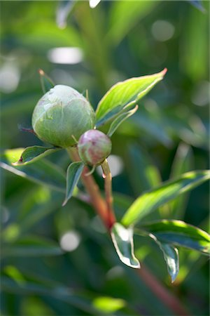 peony - Peony Buds, Royal Botanical Gardens, Hamilton, Ontario, Canada Stock Photo - Premium Royalty-Free, Code: 600-03069439