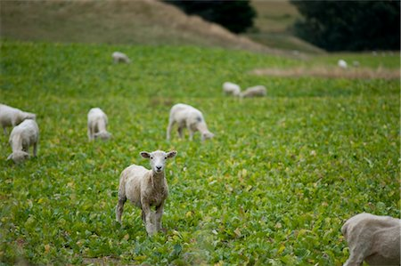 Sheep, South Island, New Zealand Stock Photo - Premium Royalty-Free, Code: 600-03075138
