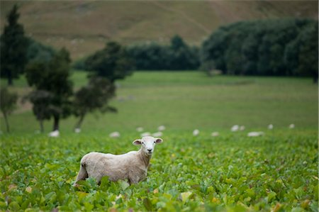 Sheep, South Island, New Zealand Stock Photo - Premium Royalty-Free, Code: 600-03075141