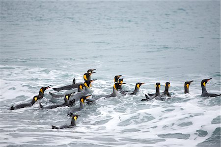King Penguins in Surf, South Georgia Island, Antarctica Stock Photo - Premium Royalty-Free, Code: 600-03083944