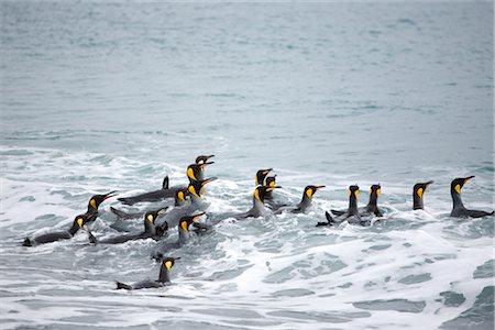 King Penguins in Surf, South Georgia Island, Antarctica Stock Photo - Premium Royalty-Free, Code: 600-03083944