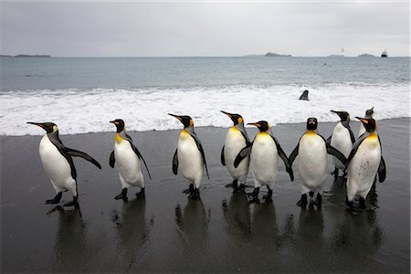 King Penguins on Beach, South Georgia Island, Antarctica Stock Photo - Premium Royalty-Free, Code: 600-03083943