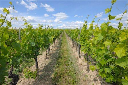 Vineyard, Alzey, Alzey-Worms, Rhineland-Palatinate, Germany Stock Photo - Premium Royalty-Free, Code: 600-03152785