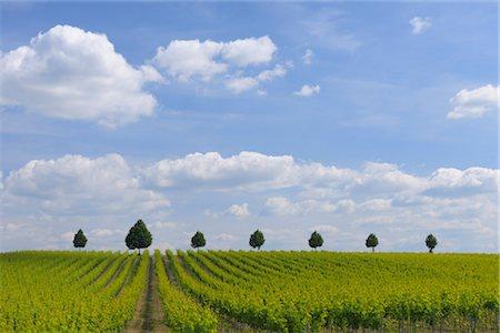 Vineyard, Alzey, Alzey-Worms, Rhineland-Palatinate, Germany Stock Photo - Premium Royalty-Free, Code: 600-03152786