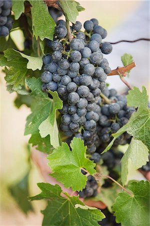 Close-up of Wine Grapes Stock Photo - Premium Royalty-Free, Code: 600-03152982